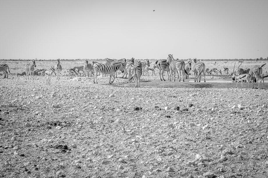 Namibia Road trip etosha national park zebras
